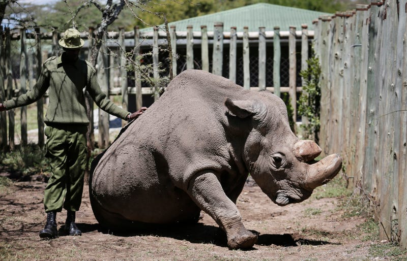 """In this May 3, 2017, photo, a ranger takes care of Sudan, the world's last male northern white rhino, at the Ol Pejeta Conservancy in Laikipia county in Kenya. Sudan, has died after """"age-related complications,"""" researchers announced Tuesday, March 20, 2018, saying he """"stole the heart of many with his dignity and strength."""""""