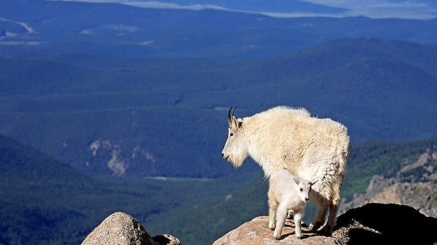 Your attention, please: The goats have taken flight