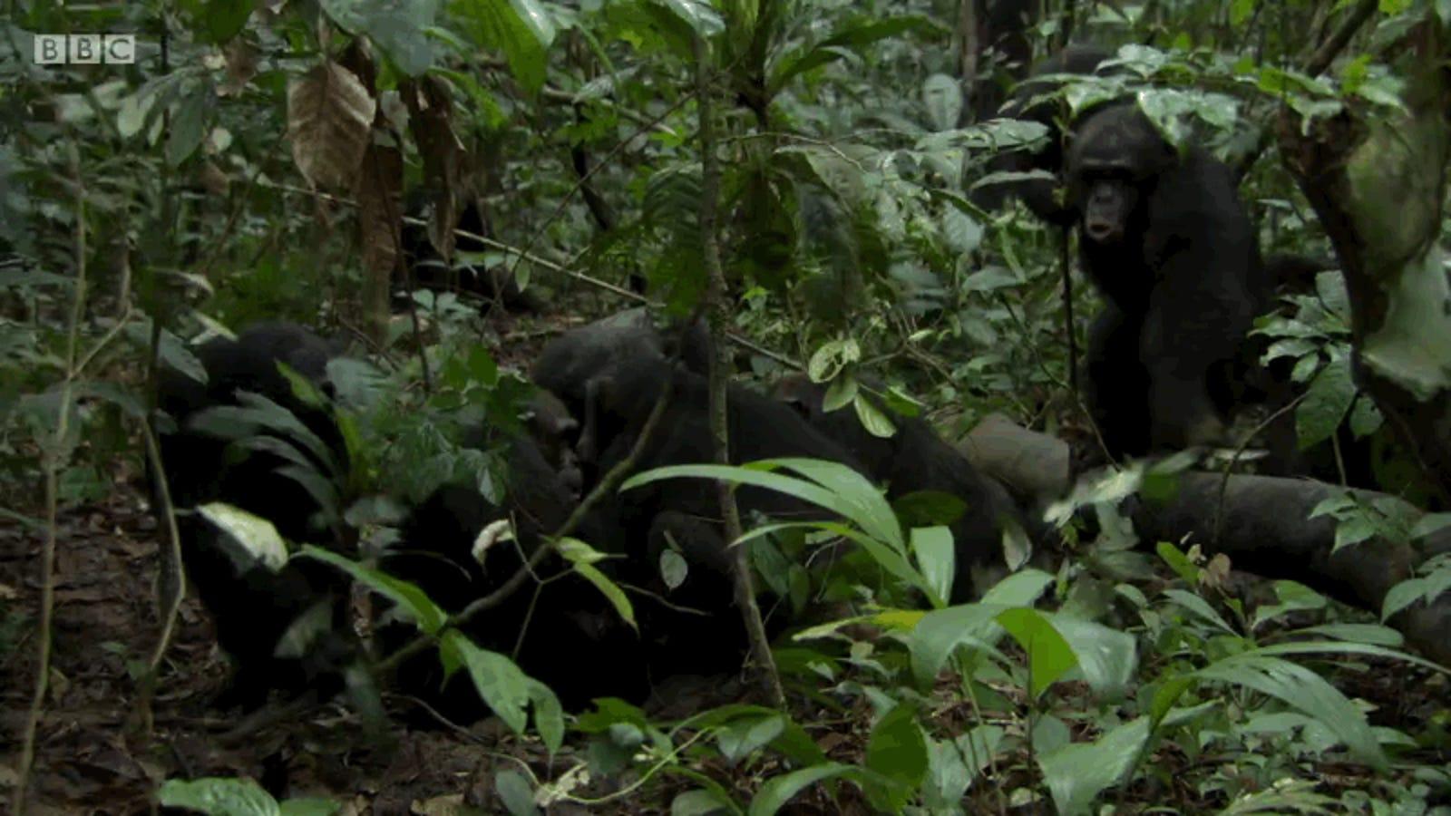 Captan en vídeo el espeluznante momento en el que un grupo de chimpancés hambrientos deciden cazar otros monos