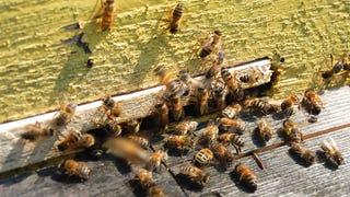 Massive Bee Attack Kills Texas Man