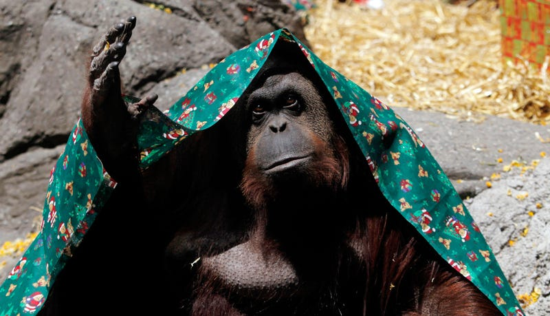 Illustration for article titled This Orangutan Is Now A Legally Recognized Nonhuman Person In Argentina
