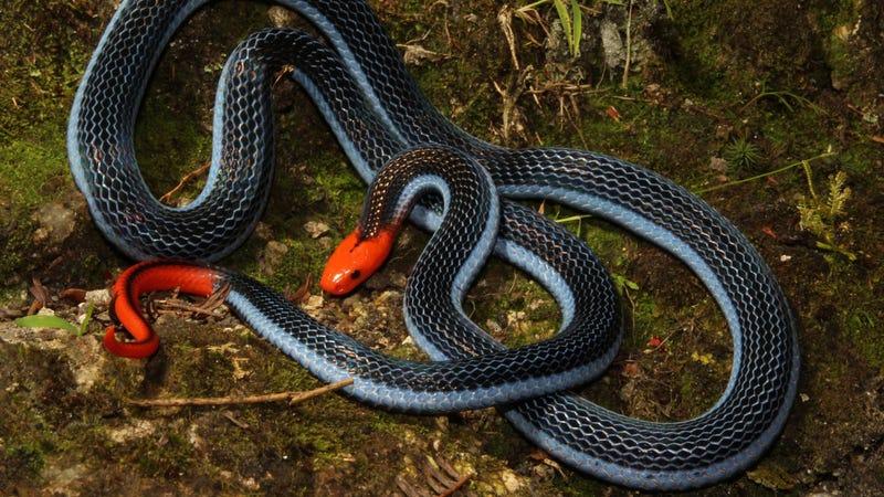 La aterradora manera de matar de una de las serpientes más hermosas del mundo