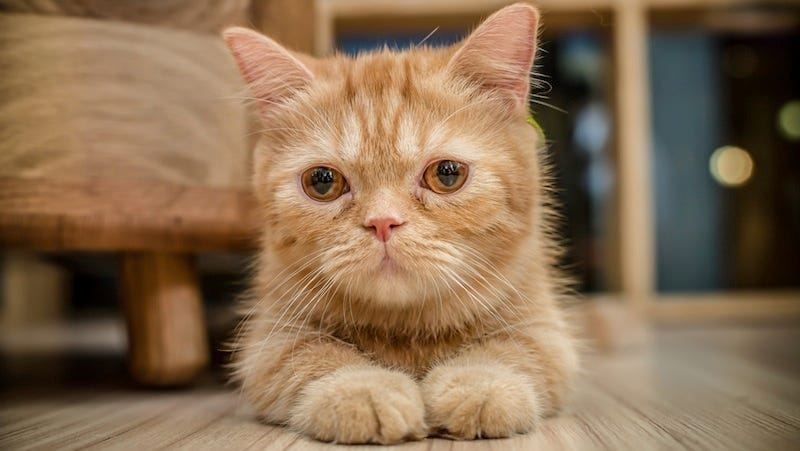 Cat Cafe Temporarily Closes Because All the Cats Were Adopted