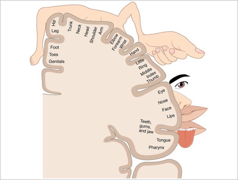 Illustration for article titled Sensory Homunculus Diagram So Fucking Hot