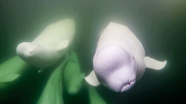 This Livestream of Beluga Whales Is the Only Thing I Want to Watch in Quarantine