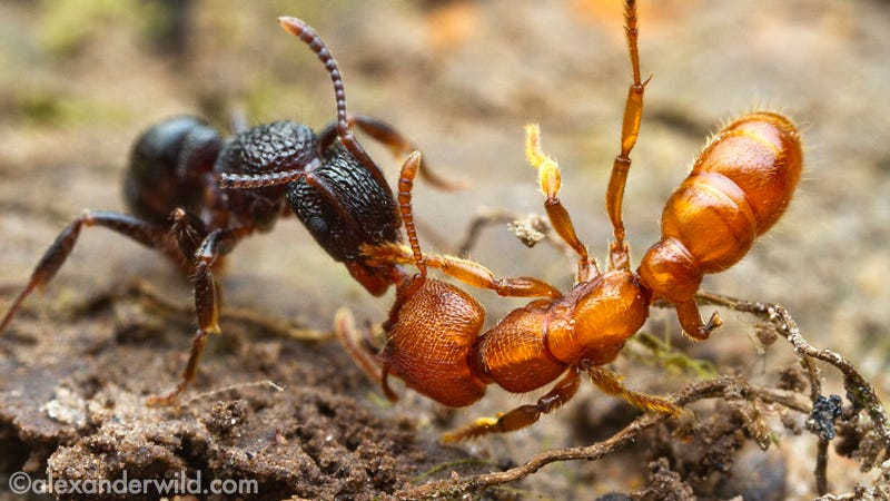 Illustration for article titled Macrophotographs of ant warfare are downright epic