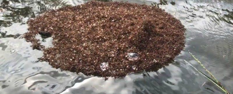 """Illustration for article titled Las inundaciones por el huracán Florence están provocando que las peligrosas hormigas de fuego formen """"balsas"""" flotantes"""