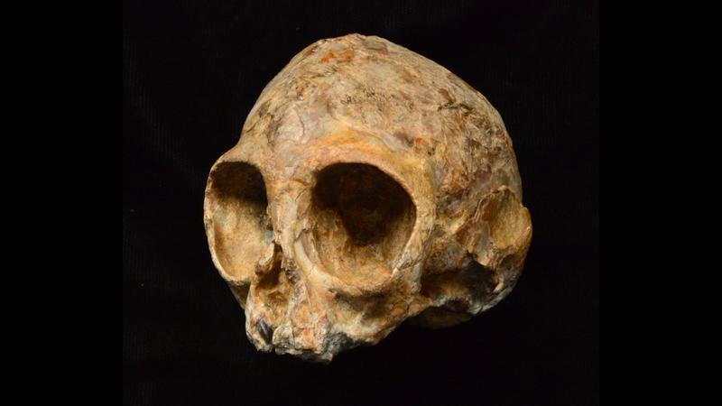 Alesi, the skull of the new extinct ape species Nyanzapithecus alesi (Image: Fred Spoor)