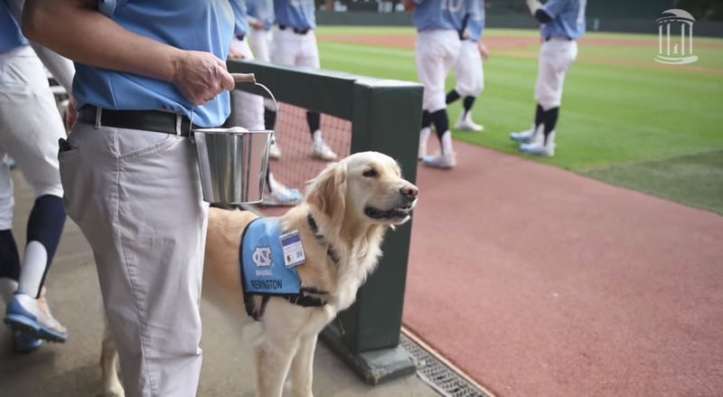 Illustration for article titled North Carolina Baseball's Secret Weapon Is This Dog