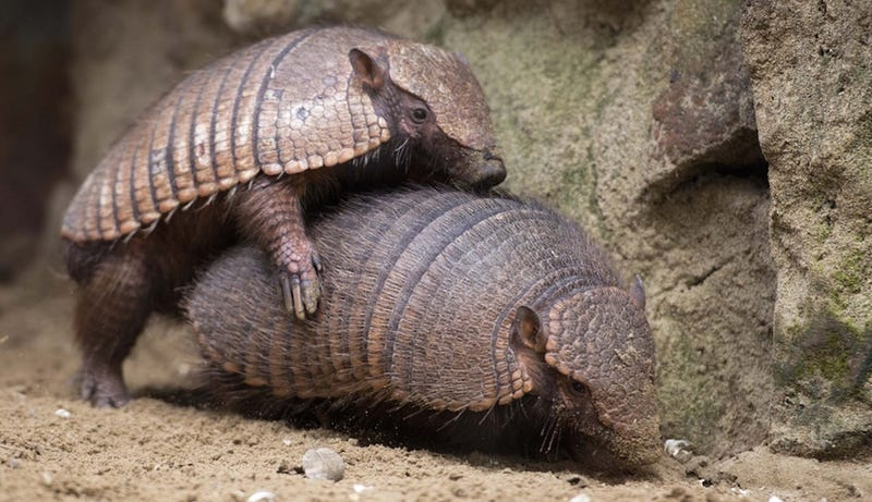 Illustration for article titled Floridians Having 'Direct Contact' With Armadillos Causes Leprosy Spike