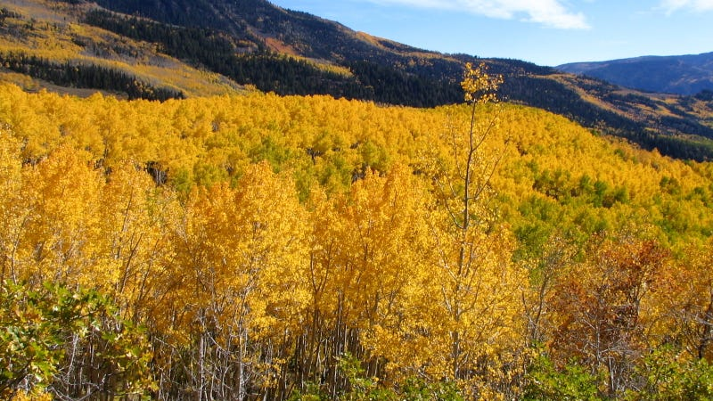 Utah's aspen grove. Image: Wikimedia Commons