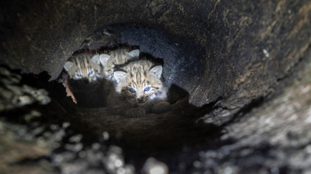 This Bobcat Family Calling a Burned Out Tree Home Is All of Us