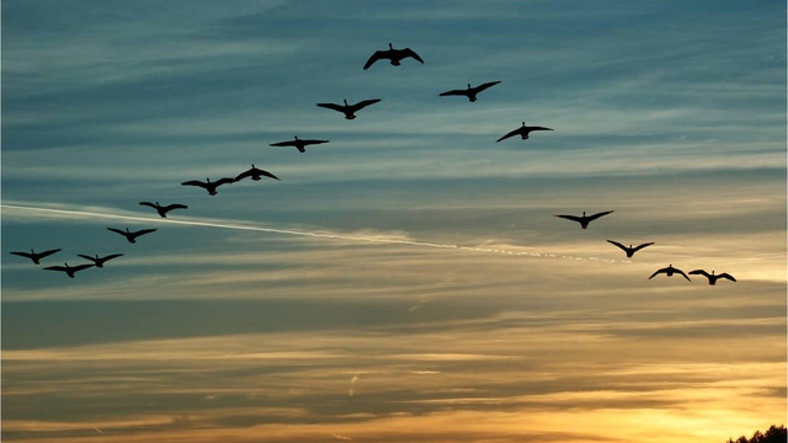 """Demostrado: por qué los pájaros vuelan en formación en """"V"""""""