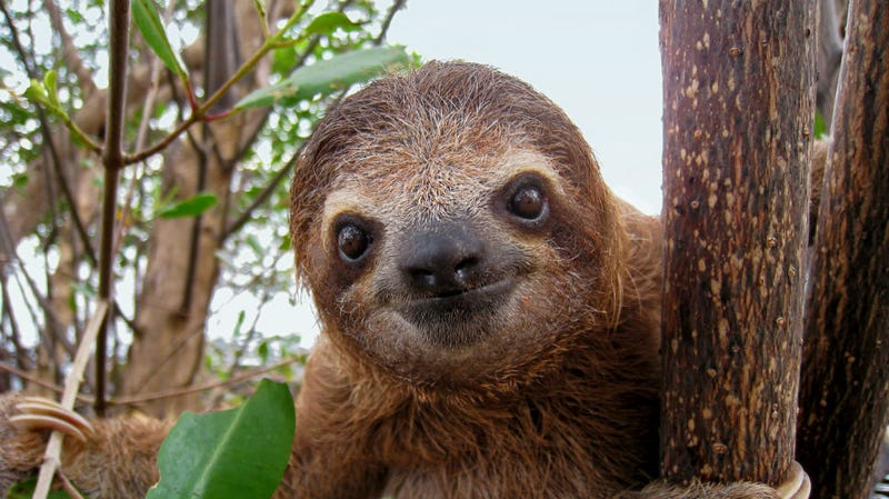 Illustration for article titled Adorable Sloths Poised For World Takeover With New Animal Planet Show