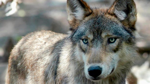 Ignoring Scientists  Advice, Wisconsin Will Allow Hunters to Kill 300 Wolves This Fall