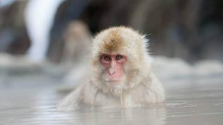 Snow Monkey. Nagano, Japan. By Vittorio Giorgi.