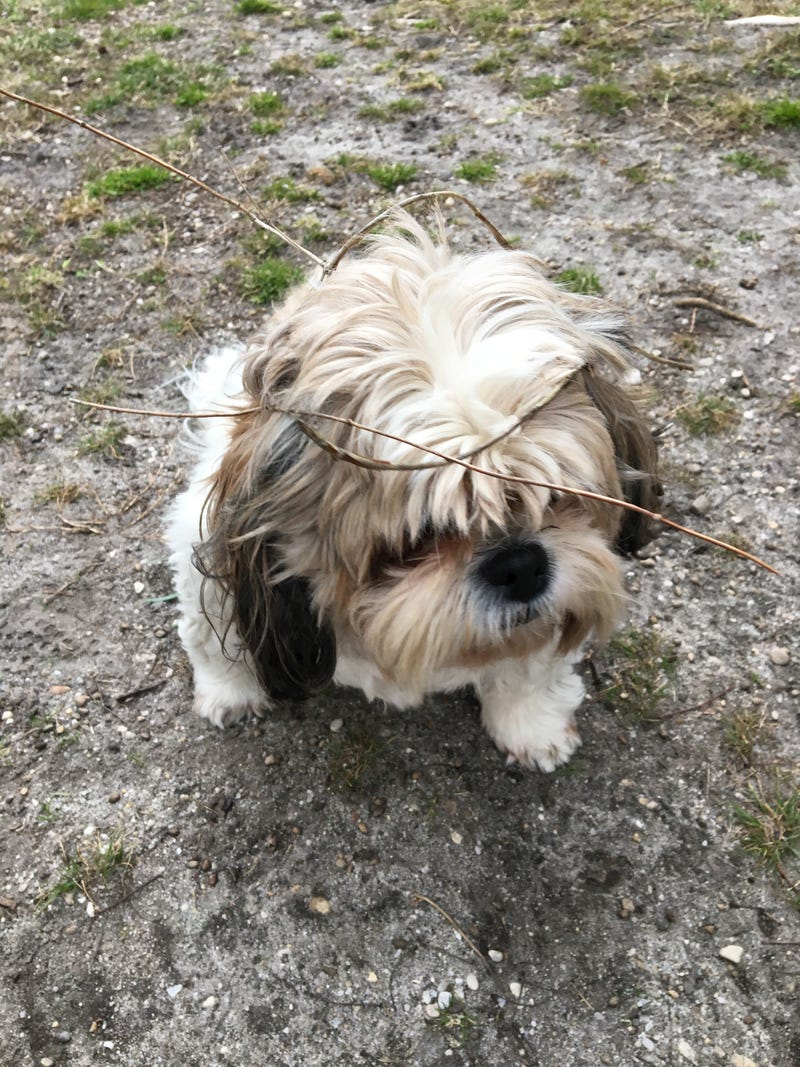 Illustration for article titled I think my shih tzu is turning into the Swamp Thing. Help.
