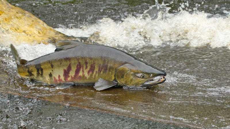 Not a road-crossing chum salmon, but a chum salmon, nonetheless.