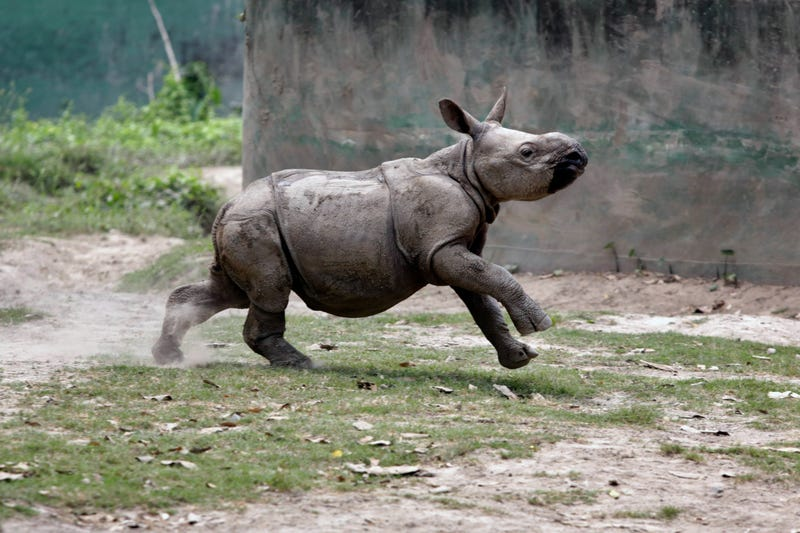 Illustration for article titled After A Rough Start, Baby Rhino Is Now Winning At Life