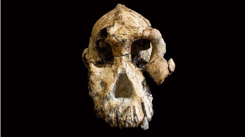 Illustration for article titled El cráneo de un antepasado humano revela como nunca antes el rostro de nuestro pasado evolutivo