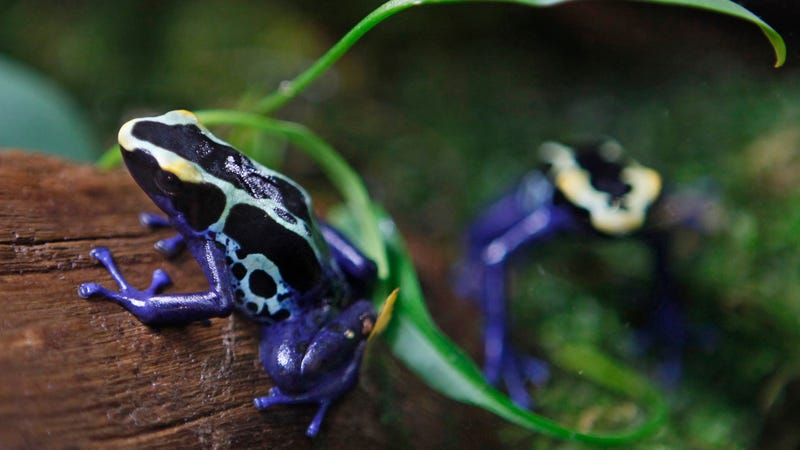 Illustration for article titled Alarming Study Concludes Frogs Are Undergoing a 'Catastrophic' Global Die Off
