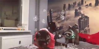 Les Ratons Laveurs En Jouant Avec Des Bulles De Savon Prouver Que Les Ratons Laveurs Sont ... - Gizmodo 1
