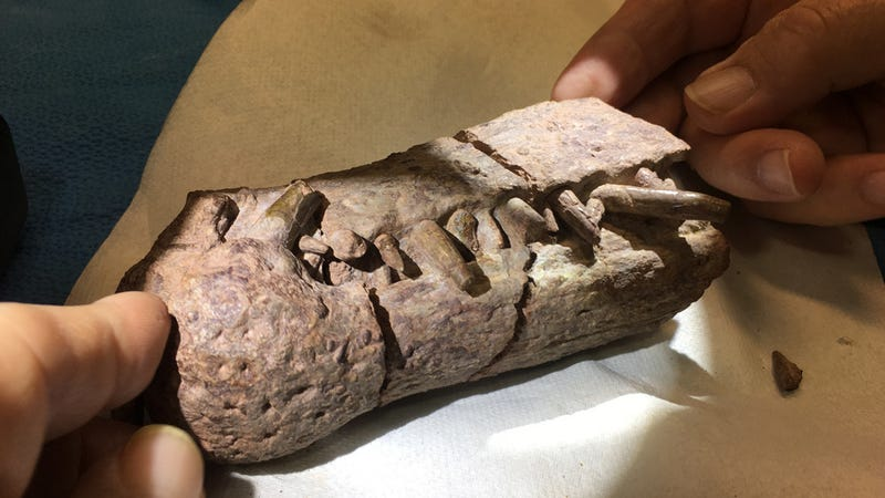 A phytosaur fossil unearthed at the former Bears Ears National Monument