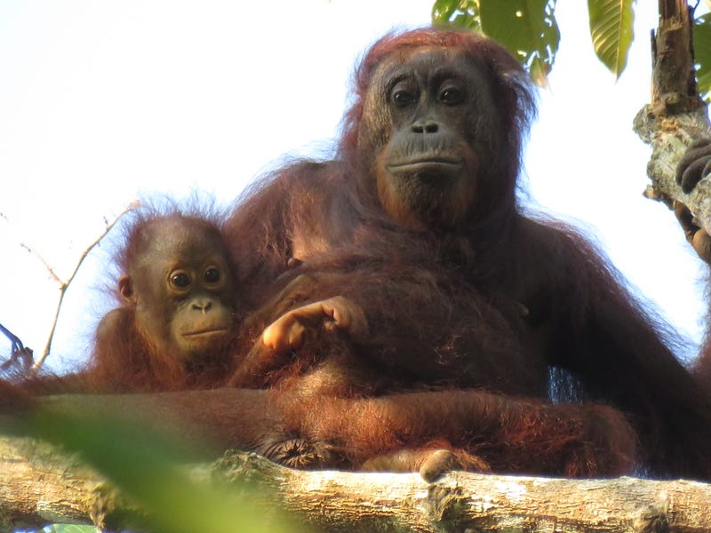 Female Bornean orangutan with offspring. Photo credit: Marc Ancrenaz