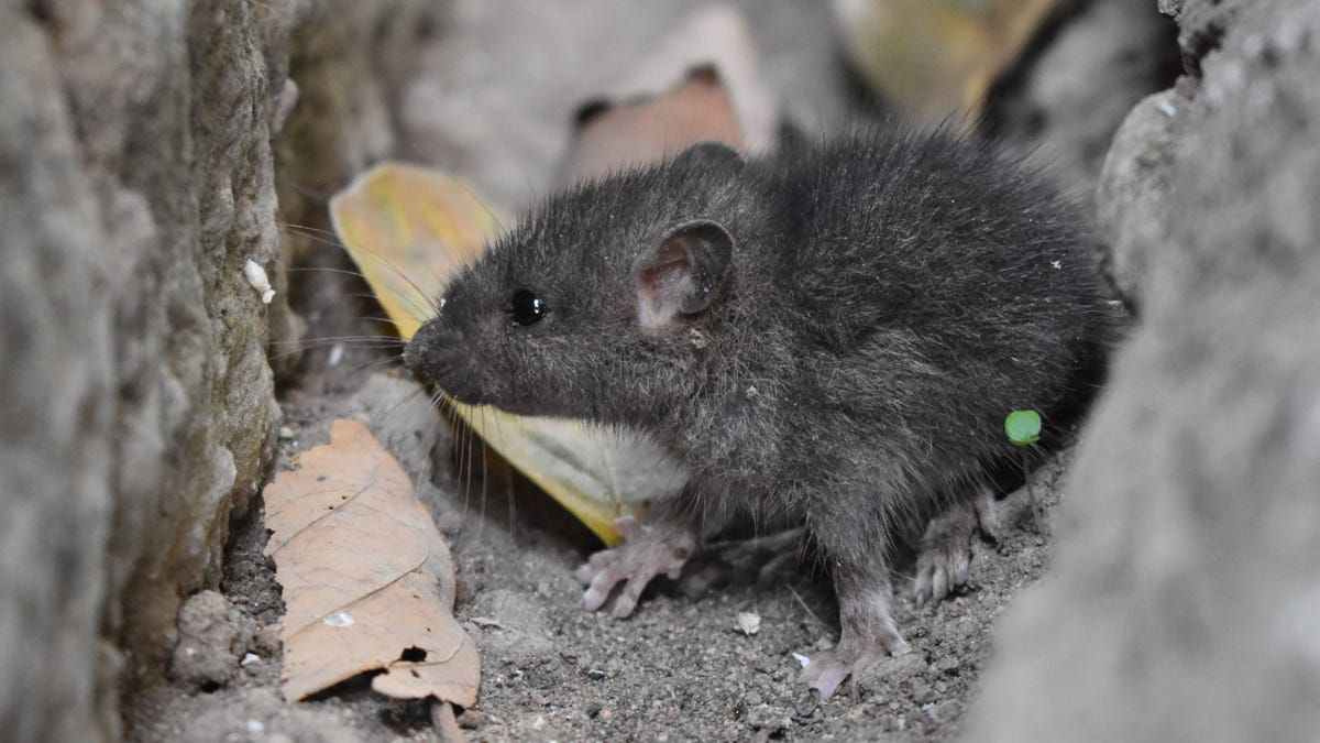 What to Do When Mice Have Invaded Your Home