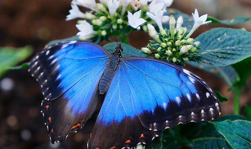 Mariposa Morpho didius. Foto: AP
