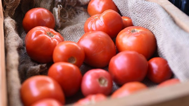 Let s Make Tomatoes Spicy With Genetic Engineering, Scientists Proclaim