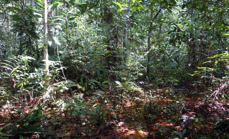 Los bosques de la Cuenca del Congo en los que se ha descubierto el yacimiento. Foto: Simon Lewis