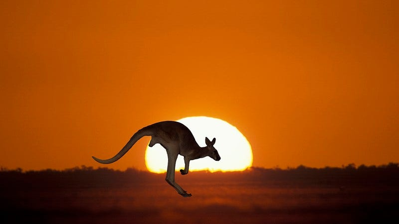 A kangaroo at sunset.
