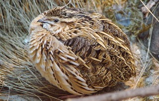 Illustration for article titled Quails Can Make Themselves Poisonous