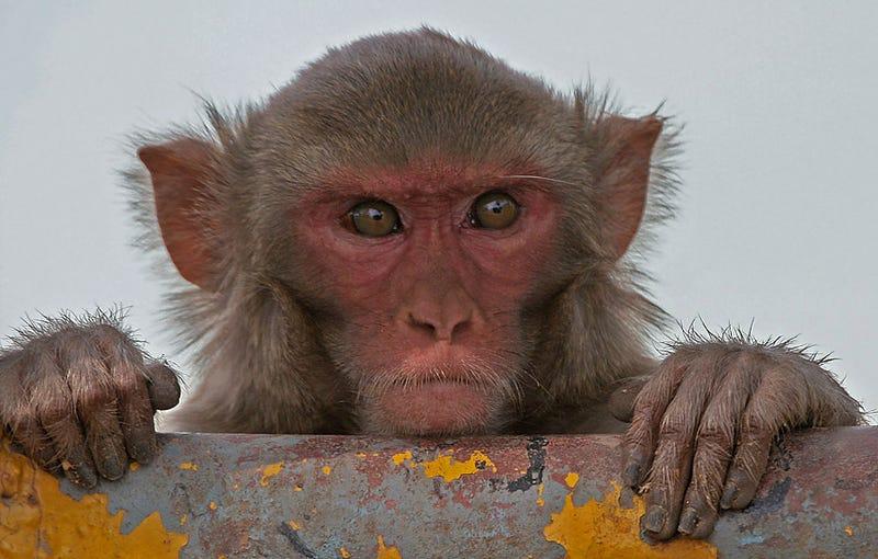 Un macaco Rhesus. Foto: J.M.Garg / Wikimedia Commons