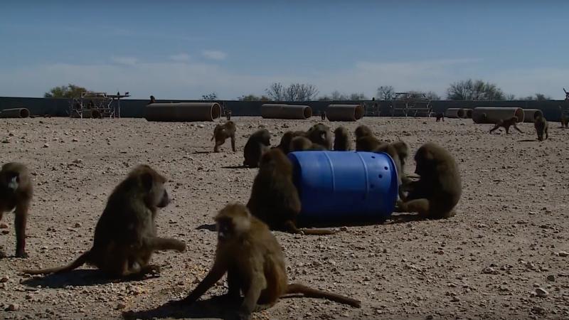 Illustration for article titled El ingenioso plan de un grupo de monos para escapar de un laboratorio de investigación en Texas