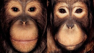 Illustration for article titled Primate portraits invite you to see apes as individuals