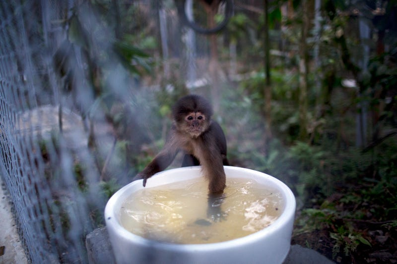 Illustration for article titled This Is Not Actually A Photo Of A Tiny Monkey Bathing In A Teacup
