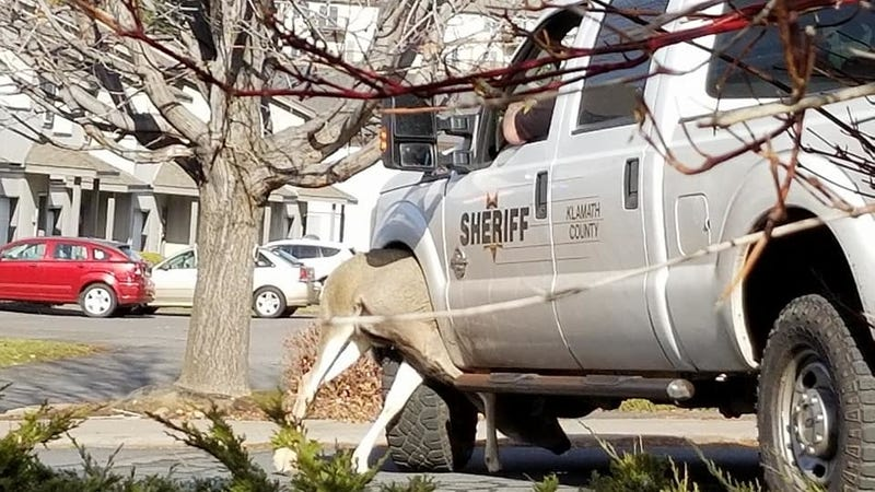 Illustration for article titled Angry Deer Rescued From Cop Car Wheel Well