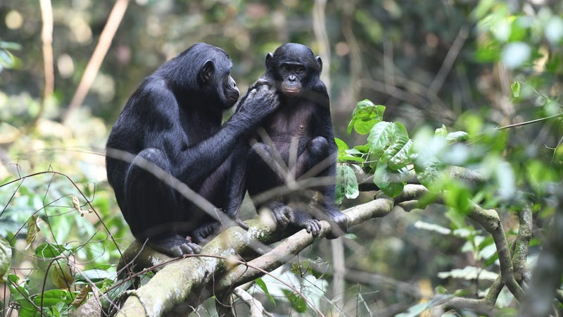 A mother bonobo grooming a young male
