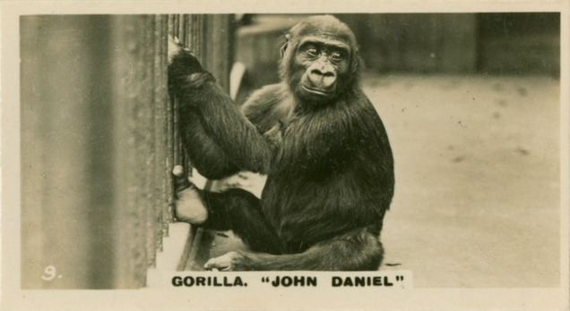 There Was Once a Gorilla Named John Daniel Who Was Raised Like He Was a Child