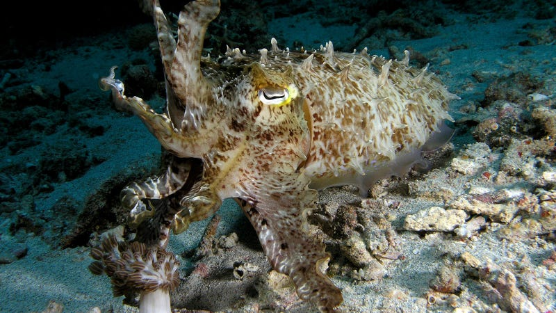A beautifully camouflaged cuttlefish in Komodo National Park. (Image: Nick Hobgood/Wikimedia Commons)
