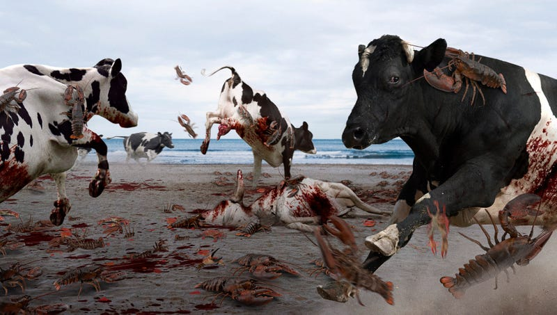 A 16-month truce between the lobsters and cows was shattered this week when bovines ruthlessly stomped rival crustaceans at Crescent Beach State Park.