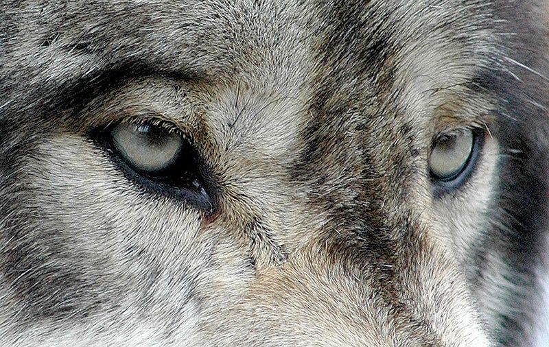 Illustration for article titled Por primera vez, los lobos que viven junto a Chernóbil han comenzado a salir de la zona de exclusión