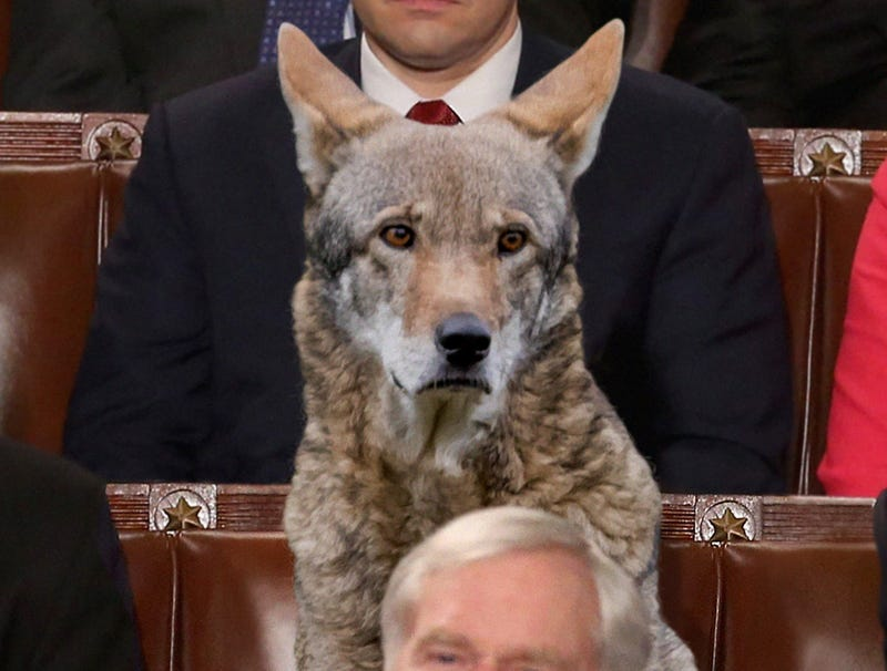Illustration for article titled Democratic Congressman Protests Trump's Environmental Policies By Bringing Endangered Red Wolf To State Of The Union As Guest