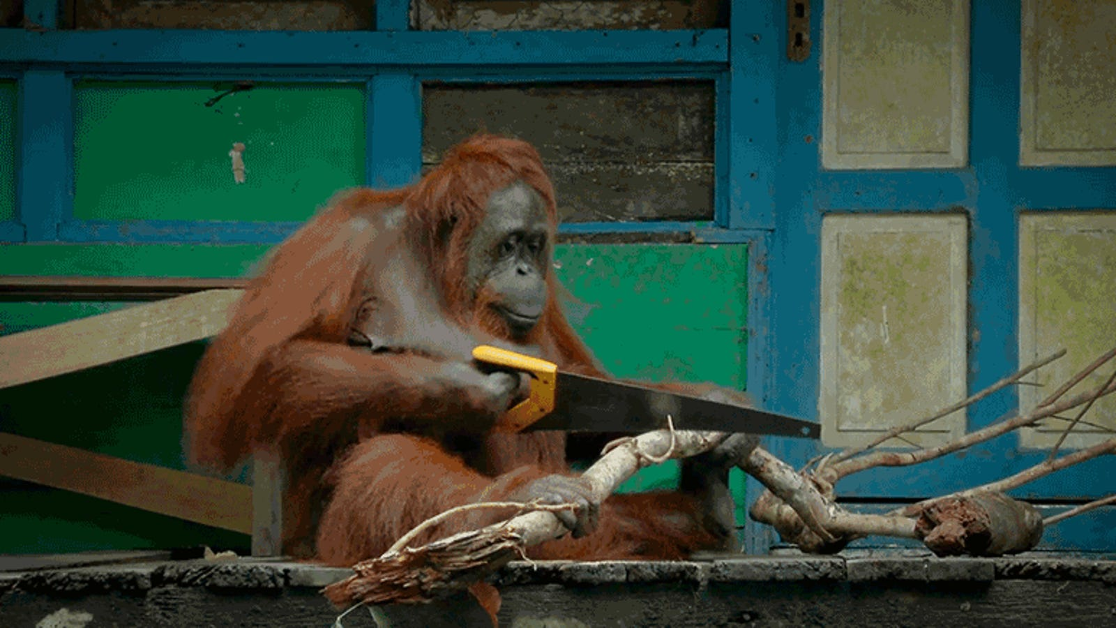 Wild Ape Learns to Use Saw and Quickly Becomes Competitive Dick