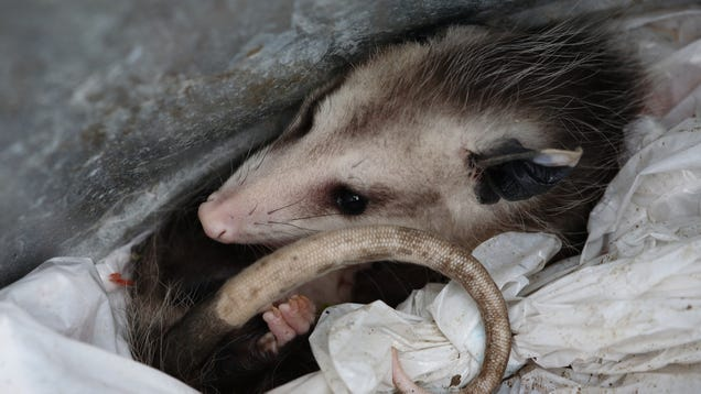 Why Do Opossums Love Trash?