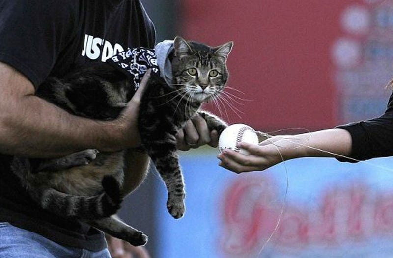 """Illustration for article titled Hero Cat """"Throws"""" Out First Pitch"""