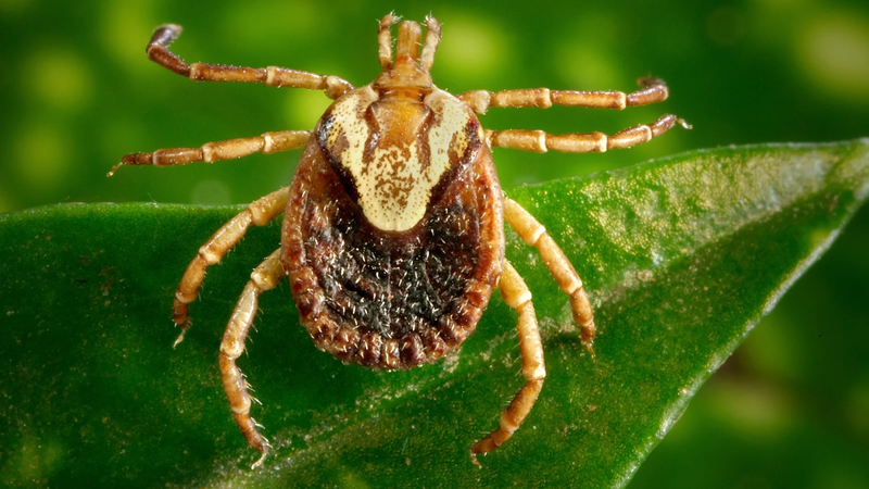 Strange Buzzing in 9-Year-Old Boy's Ear Was Actually a Tick