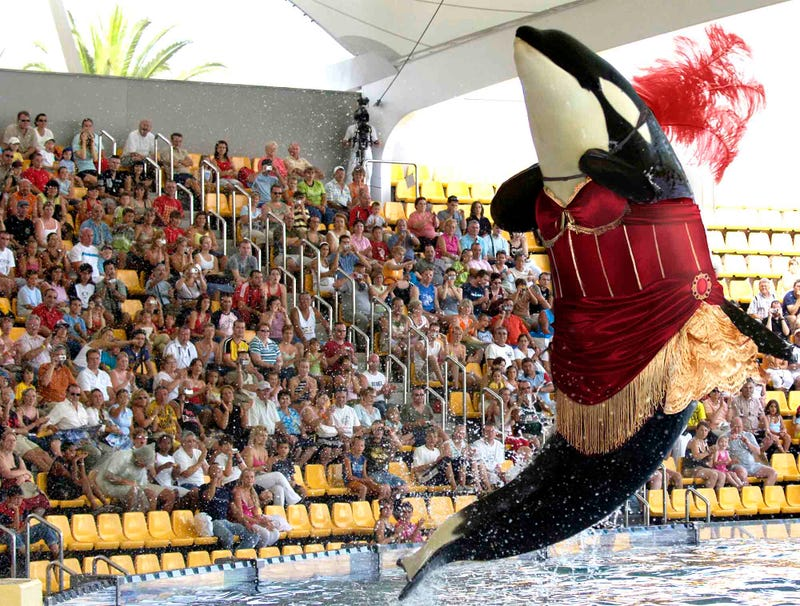 Illustration for article titled SeaWorld Debuts New Controversial Orca Whale Burlesque Show